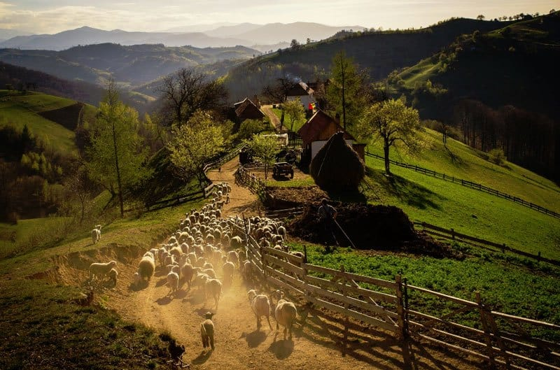 Romanian countryside with sheep